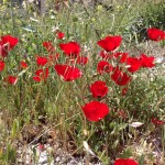 More poppies in Bethlehem.