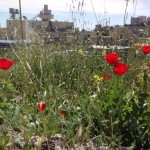 Poppies in Bethlehem.